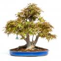 Acer palmatum viridis - 59,5 cm
