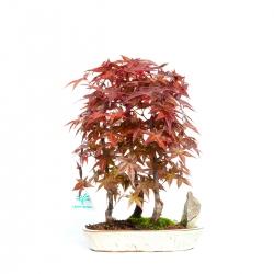 Acer palmatum deshojo - 33,5 cm