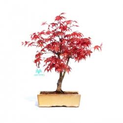 Acer palmatum deshojo - 35 cm