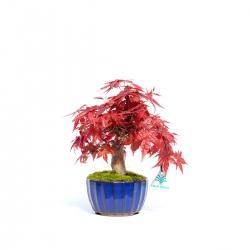Acer palmatum deshojo - 27 cm