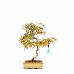 Acer palmatum - 27 cm