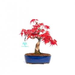 Acer palmatum deshojo - 23,5 cm