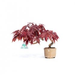 Acerr palmatum - 19,5 cm