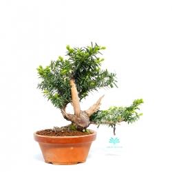 Taxus cuspidata - 27 cm