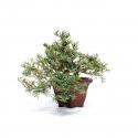 Taxus cuspidata - 24 cm