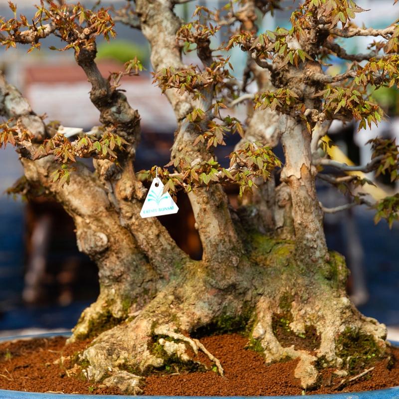 Acer buergerianum - 78 cm