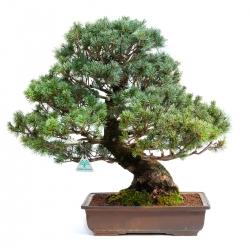 Pinus pentaphylla zuisho - 50,5 cm