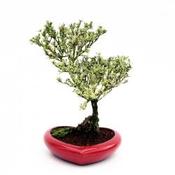 Serissa variegata con vaso a cuore - 27 cm