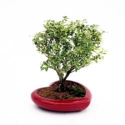 Serissa variegata con vaso a cuore - 24 cm