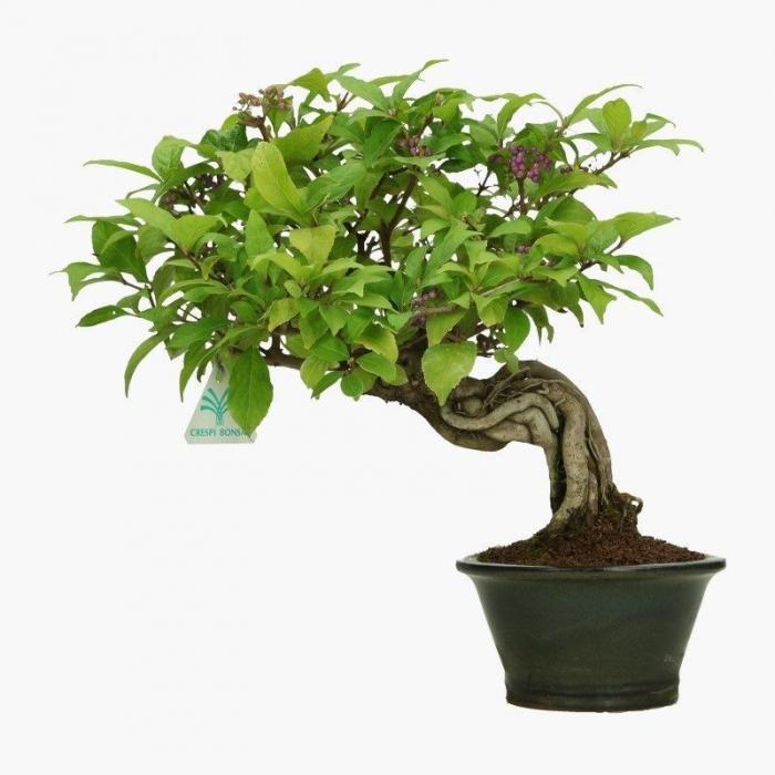 Callicarpa japonica - 33 cm