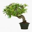 Callicarpa japonica - 29 cm