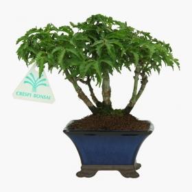 Acer palmatum shishigashira - acero - 16 cm