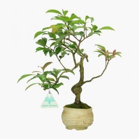 Camellia japonica - 29 cm