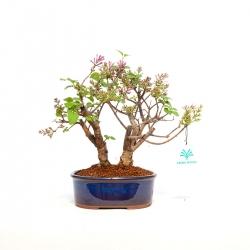 Syringa vulgaris - 25 cm