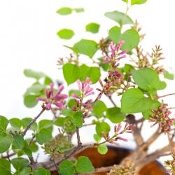 Syringa vulgaris - lilas - 25 cm