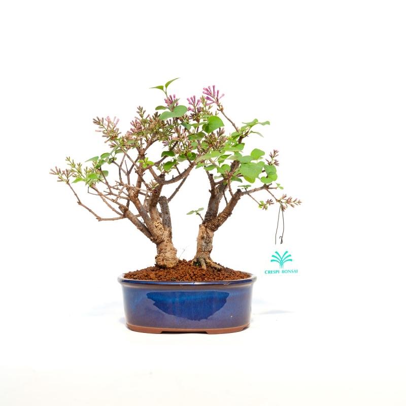 Syringa vulgaris - lilla - 25 cm