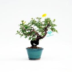 Potentilla fruticosa - 18 cm