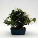Azalea - 28 cm