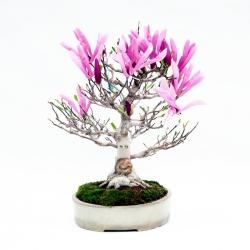 Magnolia stellata - star magnolia - 44,5 cm