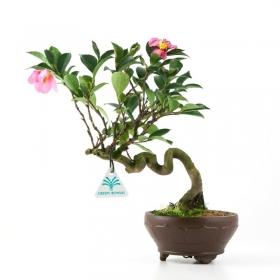 Camellia sasanqua - 32 cm