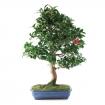 Camellia - 85 cm