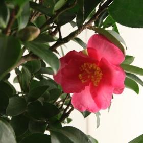 Camellia sasanqua - 85 cm