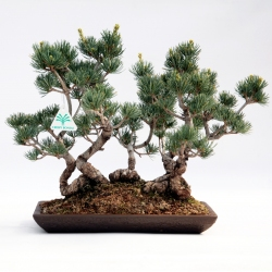 Pinus pentaphylla - Pin - 33 cm