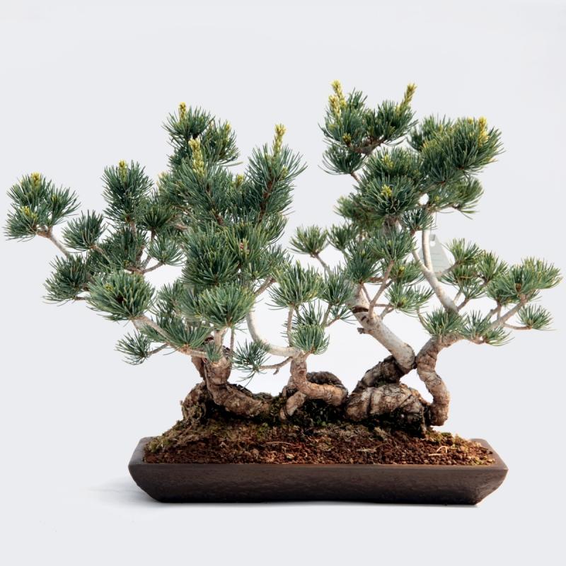 Pinus pentaphylla - 33 cm