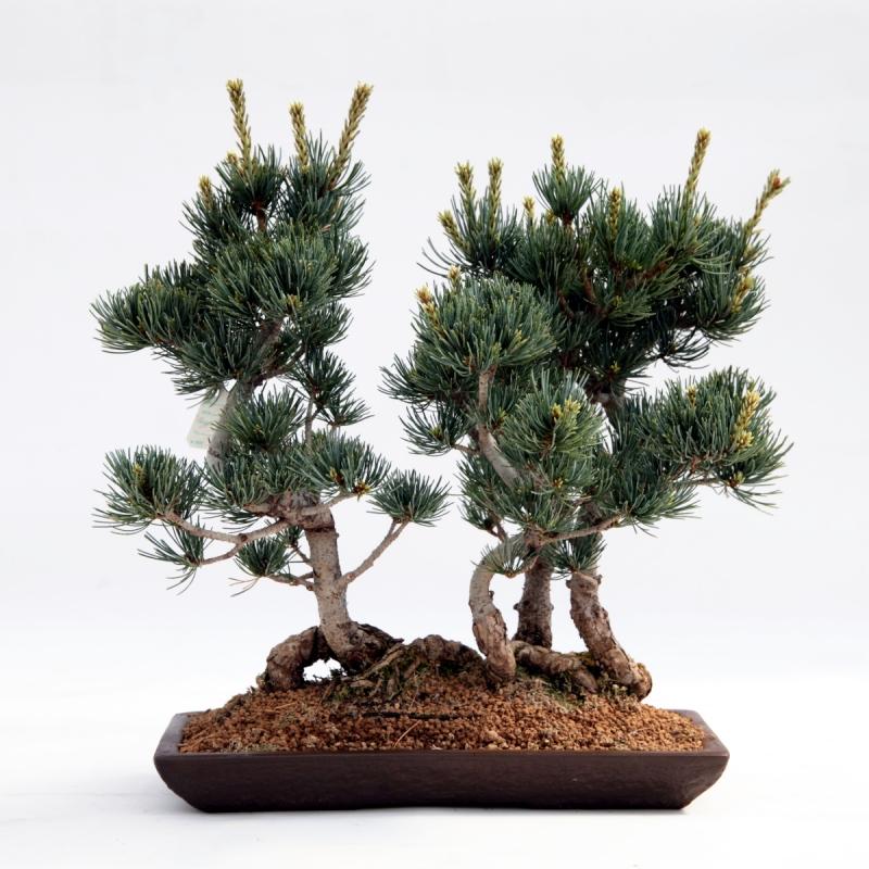 Pinus pentaphylla - 33,5 cm