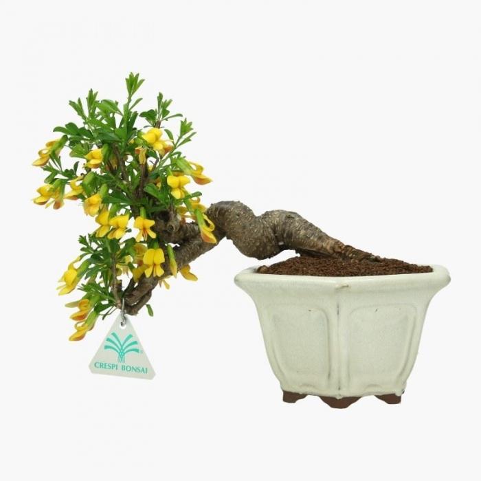 Caragana arborescens  - 22 cm