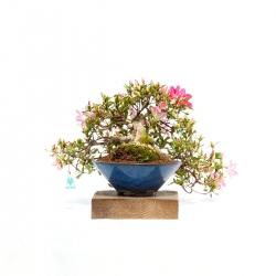 Azalea - 27 cm