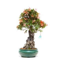 Azalea - 53,5 cm