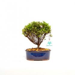 Azalea - 22 cm