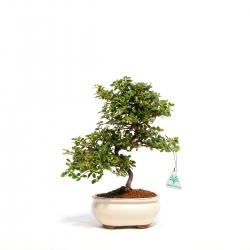 Cotoneaster - 32 cm
