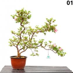 Azalea Kakuo - 63 cm - KB01
