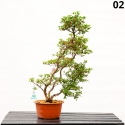 Azalea Kakuo - 63 cm - KB02