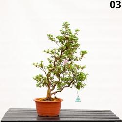 Azalea Kakuo - 63 cm