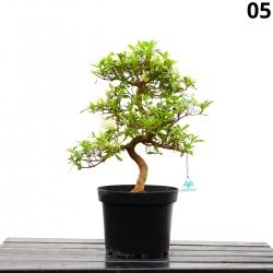 Azalée Sachi-no-izumi - 46 cm - KB05