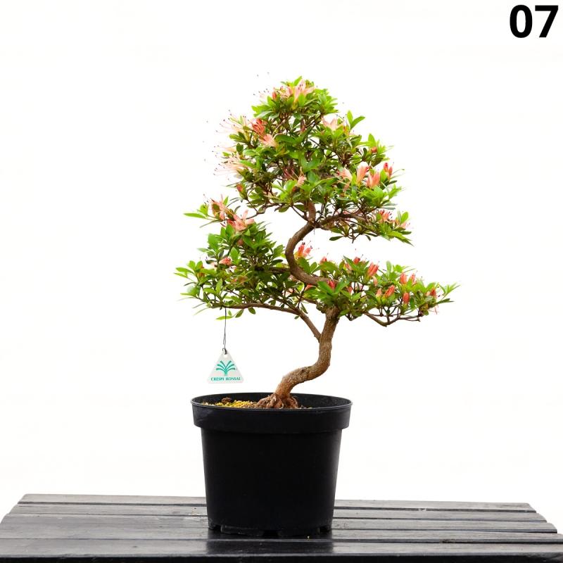 Azalée Senbazuru - 56 cm - KB07