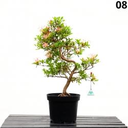 Azalea Senbazuru - 56 cm - KB08