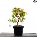 Azalea Senbazuru - 56 cm - KB09