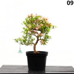 Azalea Senbazuru - 56 cm