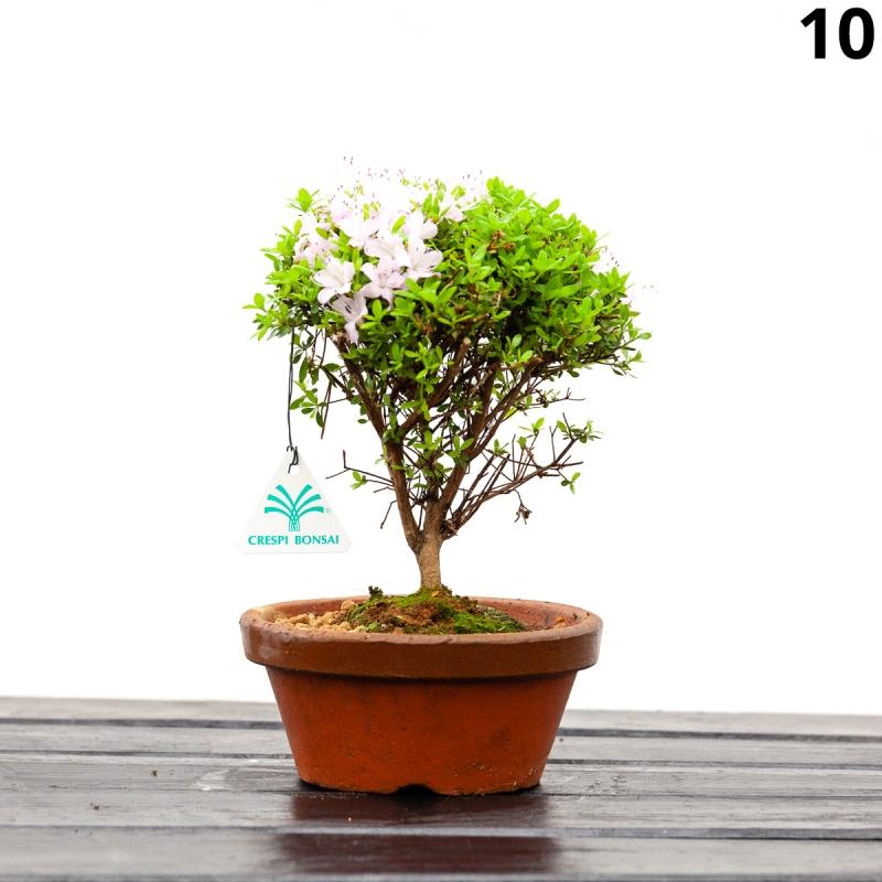 Azalea - 25 cm - KB10