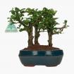 Carmona macrophylla -  Pianta del tè - 20 cm