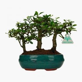 Carmona macrophylla -  Pianta del tè - 24 cm