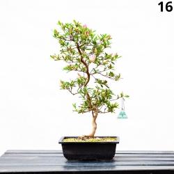 Azalea - 53 cm KB16