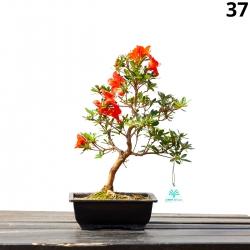 Azalea Hanakurenai - 40 cm KB37