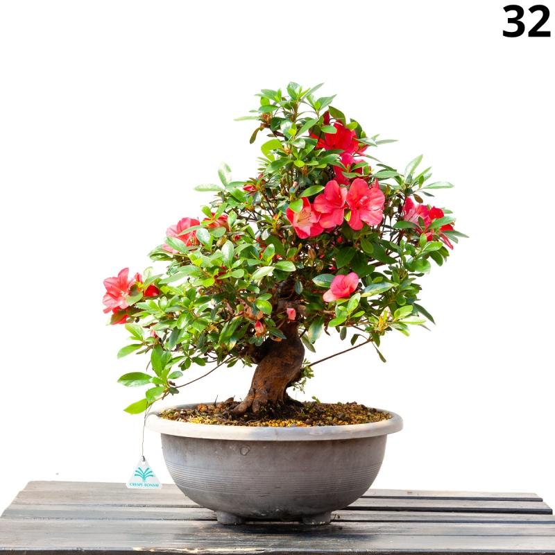 Azalea Iwaiboshi - 54 cm - KB32