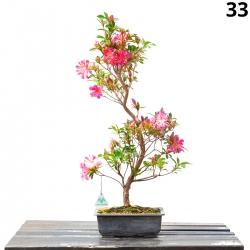Azalée Hanabin - 70 cm - KB33