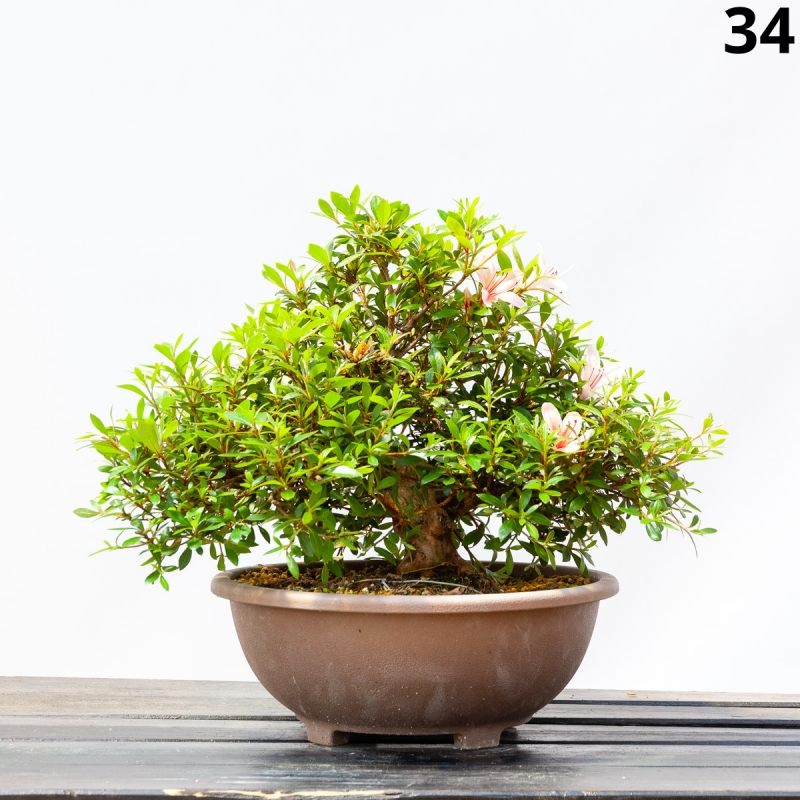 Azalea Hi-no-maru - 41 cm - KB34